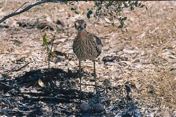 Curlew with eggs
