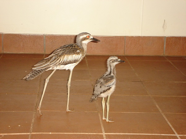 Curlew with chick